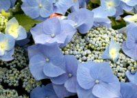 紫陽花(アジサイ)