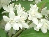 卯の花・空木(ウツギ)